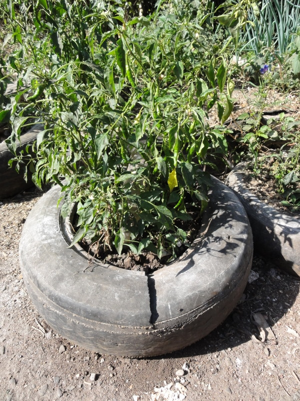 chili peppers grown in an upcycled tire