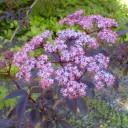 elderbery black_beauty flower
